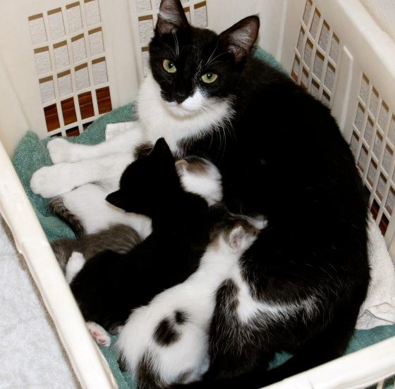 kittens nursing on mom
