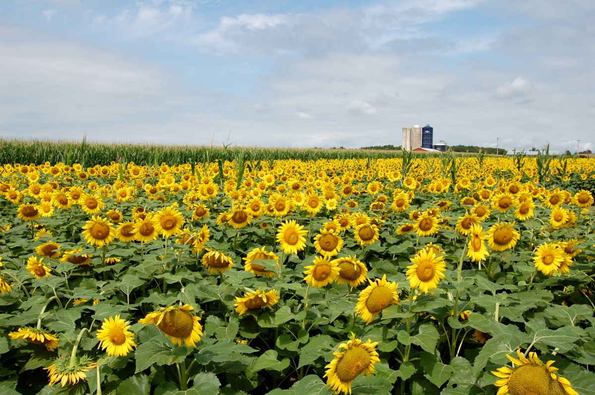 A Field Of Sunflowers Inspirations And Explorations