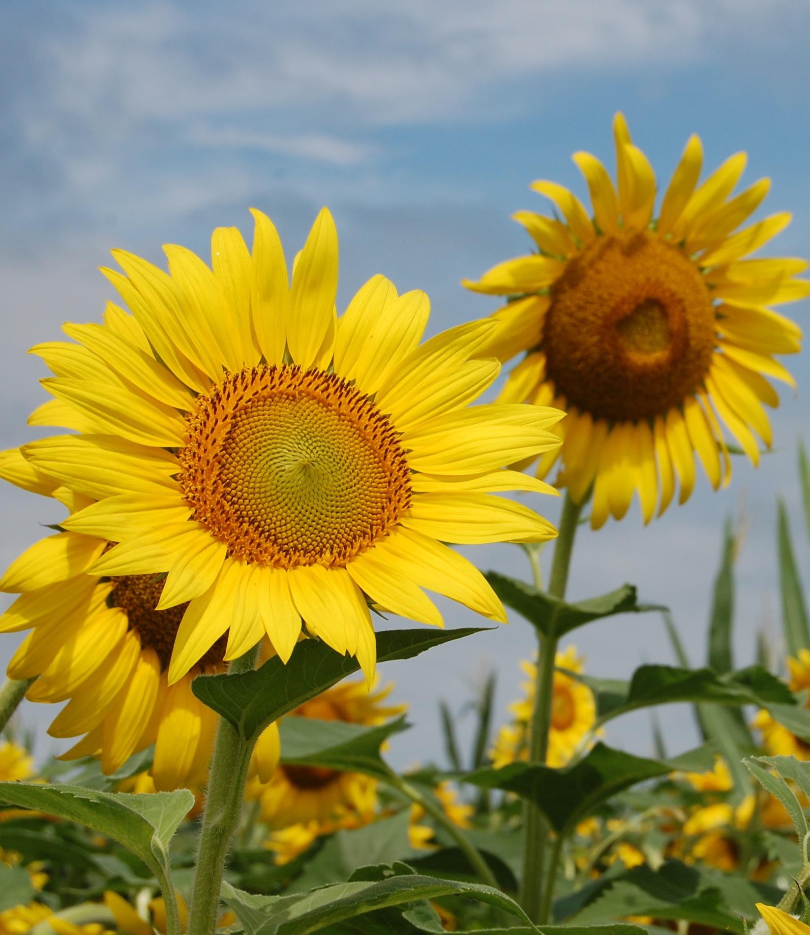 Homemade Sunflower Decor And Navy Decor For Kitchens