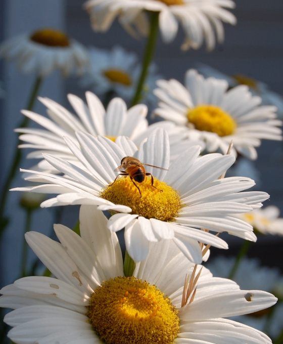 drone fly, important pollinator and honeybee impersonator