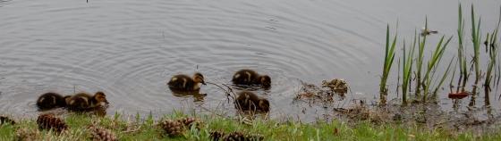 duck babies!