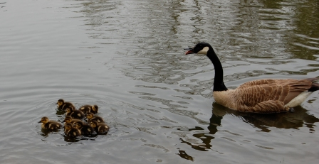 goose with duck babies