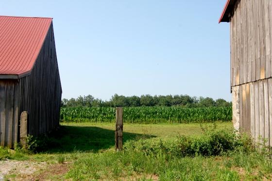corn fields on Penn Farm