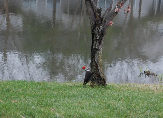 red woodpecker