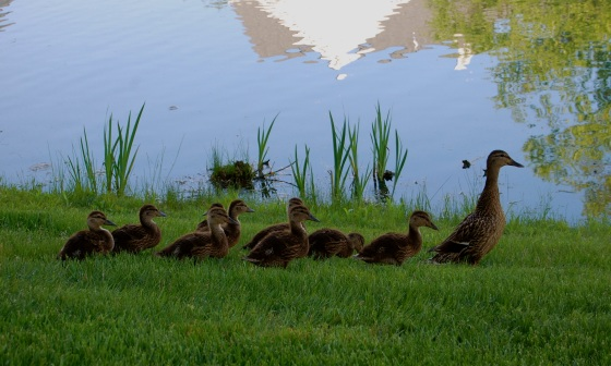 mamma duck and her growing babies