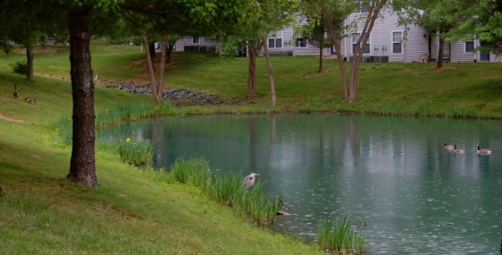 great blue heron on our pond