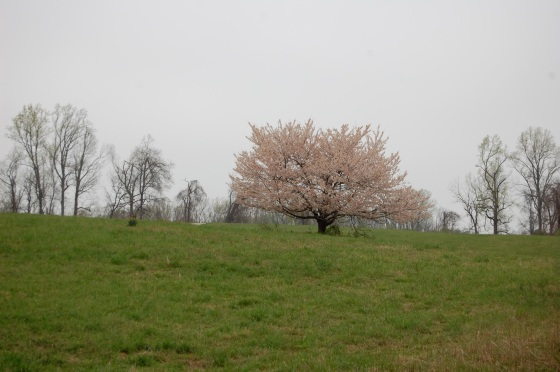 cherry tree- springtime