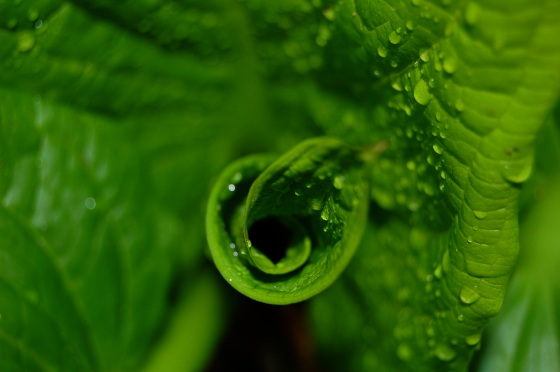 skunk cabbage spiral