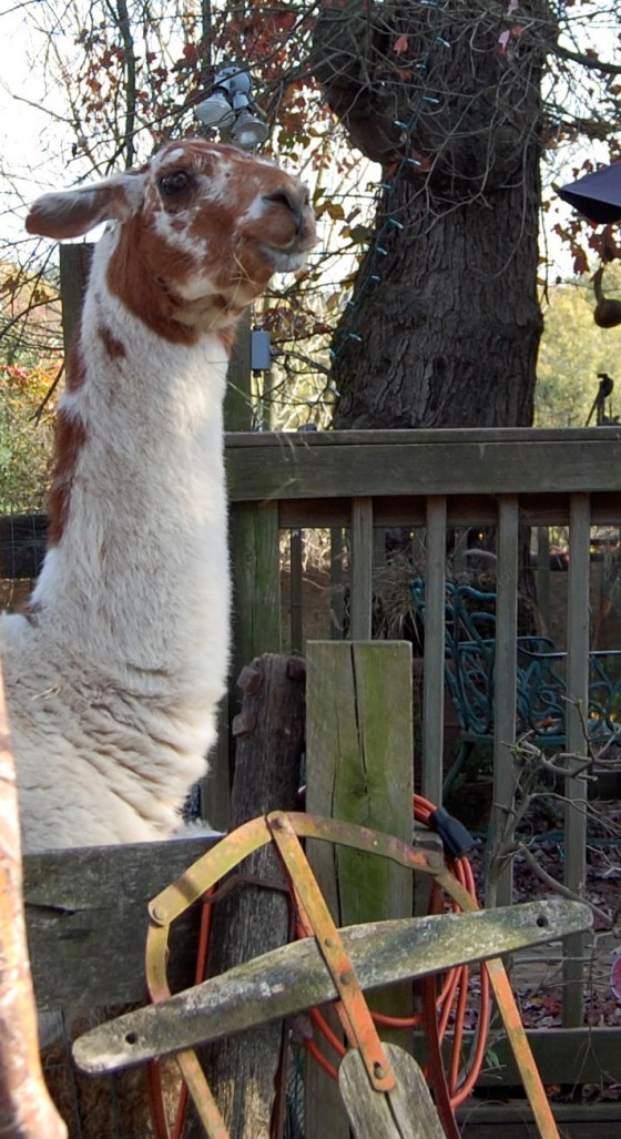 llama!  enough said...