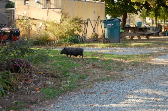 there's a pig on the loose!