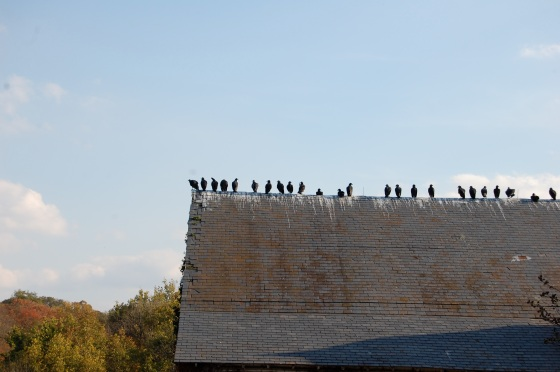 vultures- not the most welcome guests at the farm